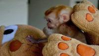 Annesi Öldürülünce Teselliyi Oyuncak Ayıda Bulan Yavru Maymun